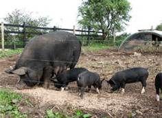 berkshire pig - Bing Images