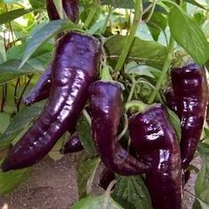 Purple Marconi pepper seeds - Garden Seeds - Vegetable Seeds