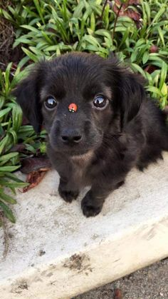 Puppy with a ladybird on its nose