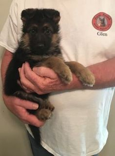 Litter of 5 German Shepherd Dog puppies for sale in DULUTH, GA. ADN-30156 on PuppyFinder.com Gender: Male. Age: 8 Weeks Old