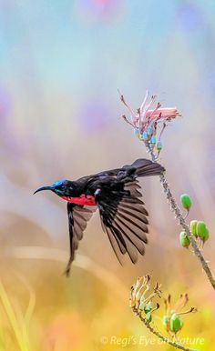 Sunbird - While waiting at the entrance of the Ngorongoro crater, NP National park, this beautiful sunbird started his early morning activity. enjoying the nectar from a multitude of flowers. Tanzania