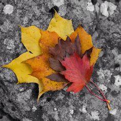 «L'#automne en avance  #feuilles #couleursdautomne #saison #septembre2015 #automn #automncolors #season #igautumn #instaautumn #feuillesmortes #leaves…»