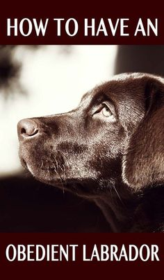 Labrador obedience training explained - How to have the obedient Labrador Retriever of your dreams! Labrador Retrievers, Labrador Retriever Negro, Schwarzer Labrador Retriever, Labrador Puppies, Brown Labrador, Golden Labrador, Retriever Puppy, Pug, Most Popular Dog Breeds