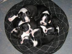 Pups cuddling from Hannah's first litter (2012)