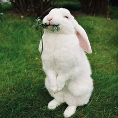 /r/rabbits is an open community where users can learn, share cute pictures, or ask questions about rabbits. Please note we are a *pet rabbit*. Funny Bunnies, Baby Bunnies, Cute Funny Animals, Cute Baby Animals, Cute Bunny Pictures, Animal Pictures, Bunny Care, Fluffy Animals, Cute Creatures