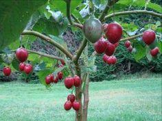 Томатное дерево   (Cyphomandra betacea) Небольшое вечнозелёное дерево или куст высотой 2—3 метра с крупными, овальными, блестящими листьями. Цветки розовато-белые, ароматные, с 5-членной чашечкой. Живёт обычно 15 лет, в плодоношение вступает на второй год.  Плоды — яйцевидной формы ягоды длиной 5—10 см, растущие гроздьями по 3-12 штук. Их блестящая кожура твердая и горькая, а мякоть имеет кисло-сладко-соленый вкус, напоминающий вкус томатного сока,но при этом обладает характерны