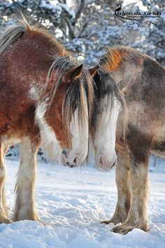 Draft horses - The Clydesdale is a breed of draft horse derived <b>. All The Pretty Horses, Beautiful Horses, Animals Beautiful, Big Horses, Horse Love, Animals And Pets, Cute Animals, Clydesdale Horses, Breyer Horses