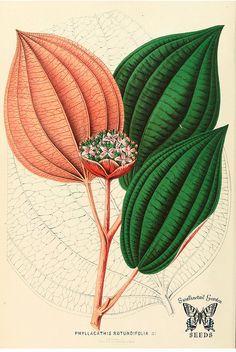 Phyllagathis rotundifolia. Annales d'horticulture et de botanique, ou Flore des jardins du royaume des Pays-Bas vol. 4 (1861)