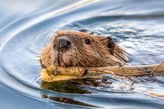 A beaver carrying building material through the water.