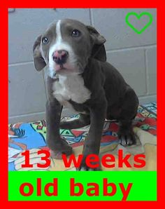 - ID #A477986 Rescue only I am a male, blue and white Pit Bull Terrier. Shelter staff think I am about 13 weeks old. San Bernardino City Animal Control at (909) 384-1304 https://www.facebook.com/photo.php?fbid=10202871365179052&set=a.4148380881719.128766.1649756531&type=1