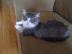AVAILABLE FOR ADOPTION in #Montreal: Prince!  Prince is approximately 4 months old and is waiting for his forever home. He has been fully vetted and will be fixed when he is old enough. Just look at those gorgeous green eyes!   Please e-mail catwhisperer@sympatico.ca if you would like to adopt Prince!  www.facebook.com/cause4paws