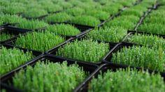Apakah+penting+menanam+rumput+gandum+itu?+