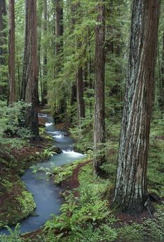 Redwoods, Northern California Mark Scheffer Beautiful, such an inspiring place. All Nature, Amazing Nature, Beautiful World, Beautiful Places, Nature Landscape, Walk In The Woods, Gaia, Beautiful Landscapes, The Great Outdoors