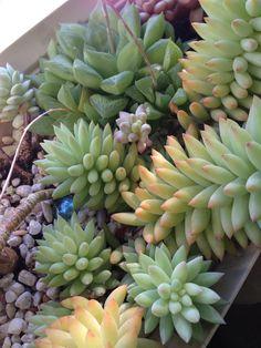 My succulent stunners.