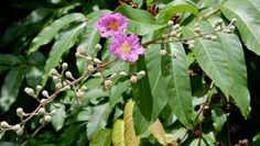Banaba Plant Health Benefits preparation and application. Plant Health, Health Benefits, Plants, Planters, Plant