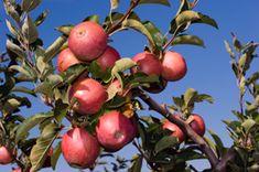 Fuji Apple Tree - Southern Apple Trees | Standard Apple Trees | Apple-Specialty Trees - Willis Orchard Company