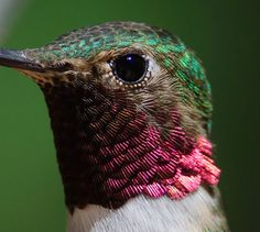 Feathers of a hummingbird up-close...