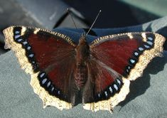 Mourning Cloak Butterfly: Over the winter months these butterflies hide within crevices created by peeling bark on dead or dying trees. As soon as temperatures warm in early spring they emerge to lay eggs upon twigs of willows. The spiny caterpillars stay together as they munch through fresh spring leaves. Finally they form a chrysalis and emerge into a winged butterfly a week to ten days later.