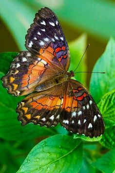 Image result for amber phantom butterfly facts