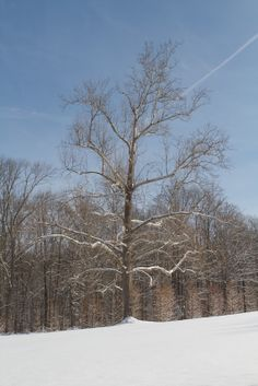 A stately sycamore tree, the symbol of my farm - The sycamore is one of the largest hardwood trees, usually growing 60 to 100 feet tall. They are also one of the oldest trees on the planet.