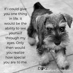 Ranked as one of the most popular dog breeds in the world, the Miniature Schnauzer is a cute little square faced furry coat. It is among the top twenty favorite Mini Schnauzer Puppies, Miniature Schnauzer Puppies, Schnauzers, I Love Dogs, Cute Dogs, Schnauzer Grooming, Most Popular Dog Breeds, Dog Quotes, Dogs And Puppies