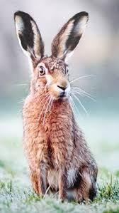 Résultats de recherche d'images pour « hares front view » Hare Pictures, Amazing Animal Pictures, Rabbit Pictures, Felt Animals, Animals And Pets, Cute Animals, Rabbit Silhouette, British Wildlife, Animal Magic