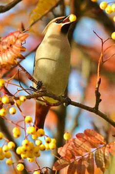 Waxwing by charlie.syme, via Flickr  Cedar Waxwings eat fermented berries from our Mountain Ash tree and then fly around erratically.