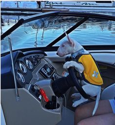 Bull terrier... Could you give me those directions again?