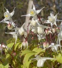 Epimedium grandiflorum 'Nanum', Bispehue Beskrivelse: Staude. Små cremehvide blomster i april - maj. En af de mindste Bispehuer, ideel for trug. Bladene er i foråret kantet med kobberbrunt. En flot detalje. Trives i god muldjord, og kan, når den er etableret, tåle ret tør jord. Bliver smukkest i halvskygge og tåler næsten fuld skygge. Bladene er ofte stedsegrønne. Det er en fordel hvis bladene bortskæres lige før de nye skud bryder frem, så ses blomsterne bedre. 20 cm
