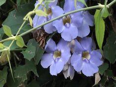 Thunbergia grandiflora, Trepadeiras, Caramanchões, Jardinagem, flores,