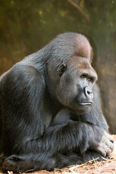 I have so long revered the Silverback Gorilla. I would have loved to have been Diane Fosse - minus the heartbreak of what happened to these beautiful beasts.
