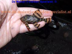 Panaqolus sp . lda01 Harnasmeerval Herkomst: Brazilie