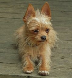 long hair chihuahua yorkie mix 1000 images about chihuahua yorkie cross on pinterest 1382