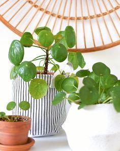 Chinese Plants, Chinese Money Plant, Potted Plants, Indoor Plants, Decoration Plante, Palm Plant, Plants Are Friends, House Plant Care, Artificial Plants