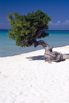 ✮ Lone Divi Tree on the Beach, Eagle Beach, Aruba, Dutch Antilles