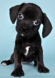 look at eyes on this pug dachshund mix