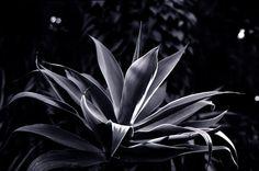 Alex Waterhouse-Hayward Agave Attenuata, Queen Elizabeth Park, Conservatory, Vancouver, Plants, Greenhouses, Plant, Green Houses, Planting