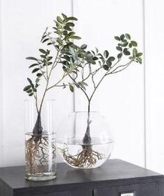Water Plants Indoor, Indoor Trees, Best Indoor Plants, Aquatic Plants, Indoor Garden, Clusia, Plants In Bottles, Plants Are Friends, Interior Plants