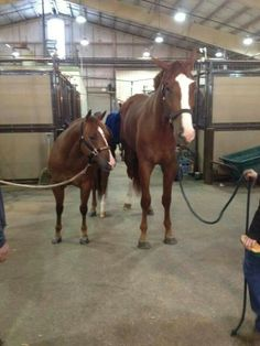 AQHA when a reiner meets a hunter...hahaha! Wow, look at the size difference (the reiner is the smaller one)