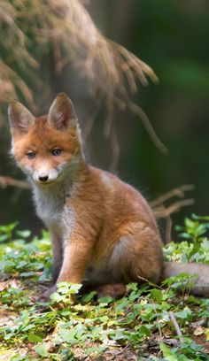Red Fox Cub by Selda Photography