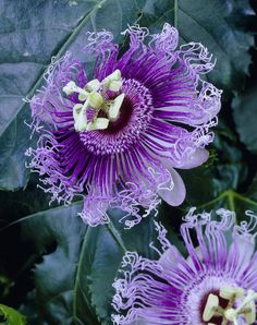Good Friday explained: the passion flower • Gardening Blog • 99Roots.com