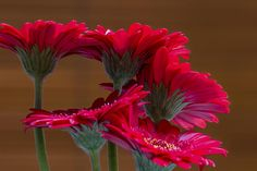 In Harmony -Mini Gerbera Daisies looking as though they were singing together. #photography #macro