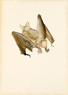 Lucian Freud (1922 - 2011): Bat watercolor