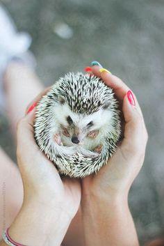 Cute little hedgehog...
