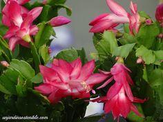 unjardinsostenible.com: Schlumbergera truncata (Pluma de Santa Teresa) Gerbera Jamesonii, Cactus Planta, Plantar, Rose, Flowers, Cut Flowers, White Flowers, Horse Manure, Christmas Cactus