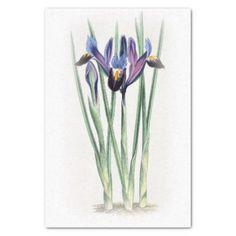 Iris Vintage Watercolor on Cream Fade Tissue Paper - paper gifts presents gift idea customize