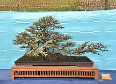 Bonsai Styles, Mini Bonsai, Bonsai Art, Art Of Living, Aquarium, Twin, Plants, Flowers, Goldfish Bowl