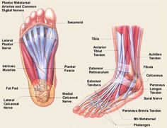 foot anatomy | Foot And Ankle Bones, Ligaments, Tendons And More