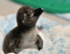 Baby Penguin!!!!!!!!!!!!!!!!!!!!!!!!!!!!!!!!!!!!!!!!!!!!