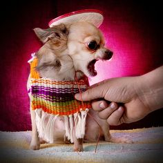 Effective Potty Training Chihuahua Consistency Is Key Ideas. Brilliant Potty Training Chihuahua Consistency Is Key Ideas. Chihuahua Love, Chihuahua Puppies, Cute Puppies, Cute Dogs, Chihuahua Clothes, Puppies Puppies, Baby Animals, Funny Animals, Cute Animals